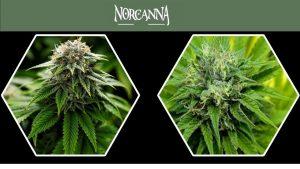 Best Cannabis in Sacramento